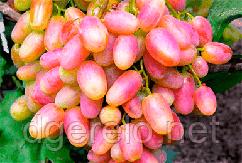 Виноград рожевий Юліан - ультраранній. саджанці винограду