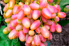 Виноград розовый Юлиан - ультраранний. саженцы винограда