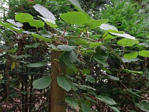 Актинідія делікатесна / Ківі Atlas (чоловічий сорт) 2 річна, Актинідія делікатесна / Ківі Атлас, Actinidia, фото 2