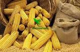 Семена Кукурузы ДН ДЖУЛИЯ ф2 ФАО 340 2019 р.у.(22,6кг) Рост Агро, фото 9