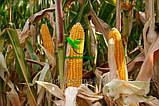 Семена Кукурузы ДН ДЖУЛИЯ ф2 ФАО 340 2019 р.у.(22,6кг) Рост Агро, фото 10