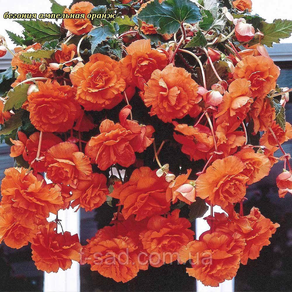 Бегонія ампельна оранж. Бульба 5/6 крупноквіткова