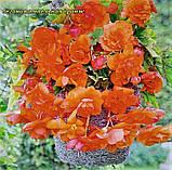 Бегонія ампельна оранж. Бульба 5/6 крупноквіткова, фото 2