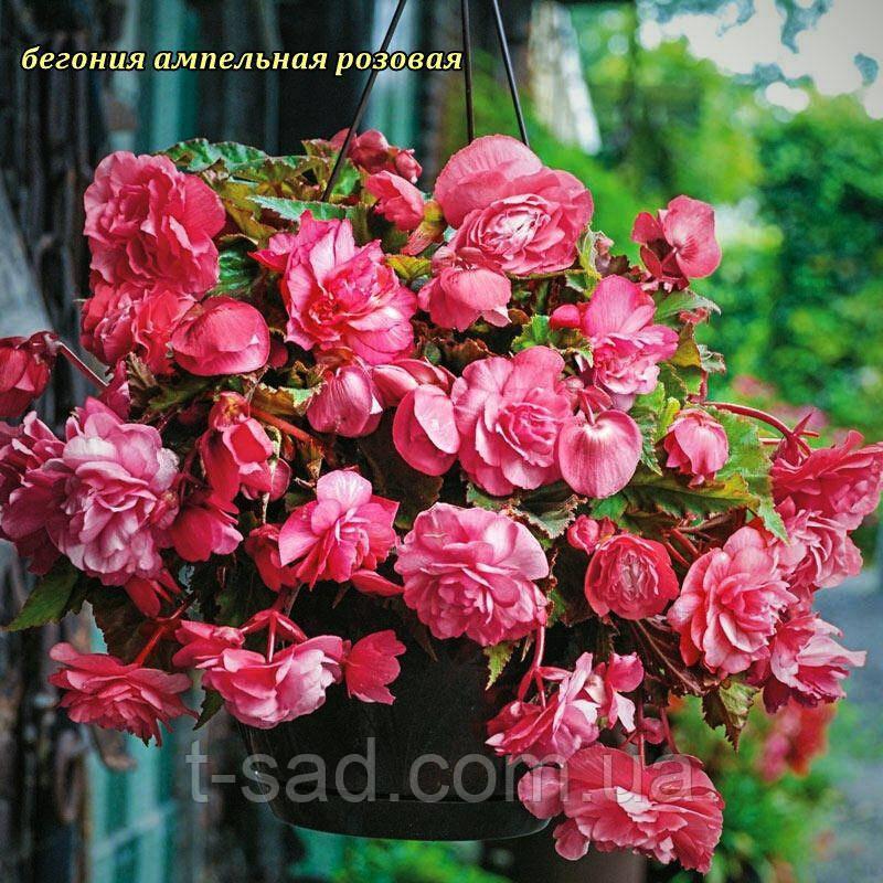 Бегония ампельная розовая. Клубень 5/6 крупноцветковая