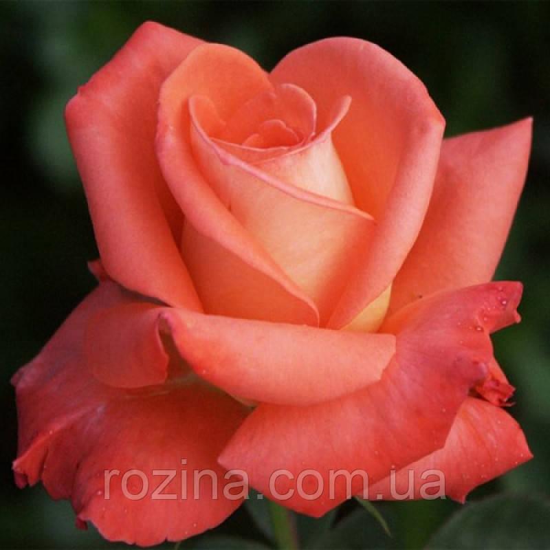 """Саджанці троянди """"Фольклер"""""""