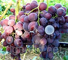 Виноград Подарунок Несветая - ранній сорт. Велика ягода