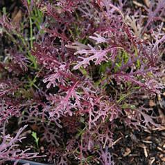 Семена мизуны красной 50г Коуел