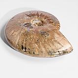 Коллекционный минерал аммонит, 120*95  мм., 754ФГА, фото 2