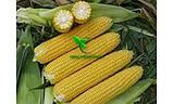 Семена Кукурузы ДН АКВАЗОР (ФАО 320) 2019г.у (24,2кг), фото 7