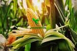 Насіння Кукурудзи ТЕСЛА (ФАО 350), ВНІС, фото 3