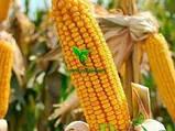 Насіння Кукурудзи ТЕСЛА (ФАО 350), ВНІС, фото 7