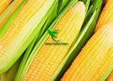 Насіння Кукурудзи ТЕСЛА (ФАО 350), ВНІС, фото 8
