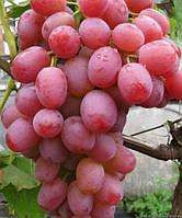 Саженцы винограда раннего - сорт Ливия, розовый.