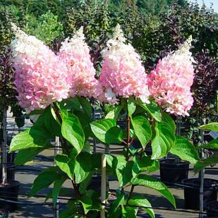 Саженцы Гортензии метельчатой Пинки Винки (Hydrangea paniculata Pinky Winky)