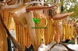 Семена Кукурузы ДМС ТРЕНД (ФАО - 290)(дополнит. инсекто. протрав.) 2020 г.у. (МАИС Днепро), фото 5