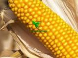 Семена Кукурузы ДМС ТРЕНД (ФАО - 290)(дополнит. инсекто. протрав.) 2020 г.у. (МАИС Днепро), фото 8