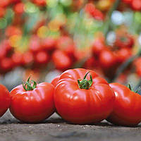 KS 206 F1 100 шт Kitano Seeds Індетермінантний Томат Насіння (Індетермінантний Томат Насіння), фото 1