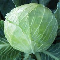 KS 179 F1 1000 шт Kitano Seeds Капуста Білокочанна Насіння (Капуста Белокочанная Семена), фото 1