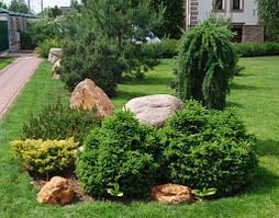 Хвойные декоративные растения