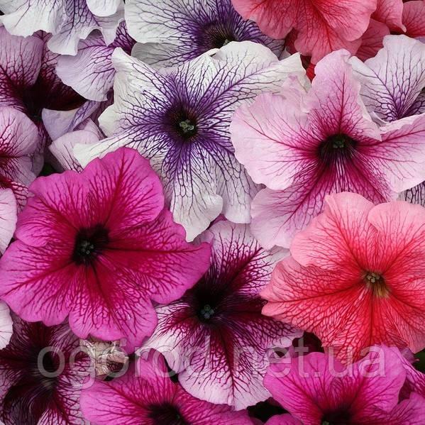 Семена петунии Prism 1000 шт Floranova Англия Sundae Mix