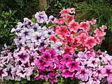 Семена петунии Prism 1000 шт Floranova Англия Sundae Mix, фото 3