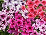 Семена петунии Prism 1000 шт Floranova Англия Sundae Mix, фото 2