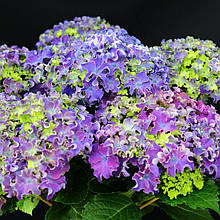 Гортензия крупнолистная Curly Sparkle Blue Purple (Керли Спаркле Блу Пурпле) гор С2