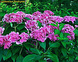 Гортензия крупнолистная Tivoli pink  (Тиволи) 3год, фото 4