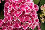 Гортензия крупнолистная Tivoli pink  (Тиволи) 3год, фото 5