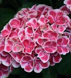 Гортензия крупнолистная Tivoli pink  (Тиволи) 3год, фото 6