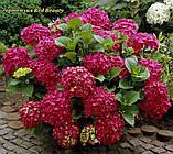 Гортензия крупнолистная Red Beauty (Ред Бьюти) 3год, фото 4