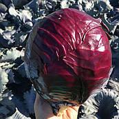 Капуста краснокочанная Ред Гард F1 Clause 2500 семян