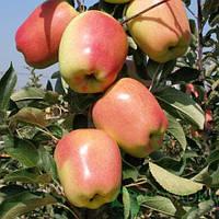 Саджанці яблуні ГОЛД ПІНК зимового терміну (дворічні)