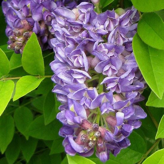 """Глициния американская """"Longwood Purple"""", (С5, 100-130 см)"""