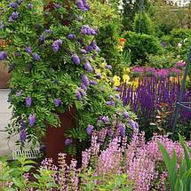 """Глициния американская """"Longwood Purple"""", (С5, 100-130 см), фото 3"""