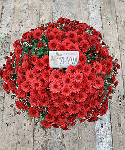"Саджанці Хризантема розсада Multiflora ""Lariva Red касета (100шт)"