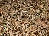 Хвойний опад Колючки соснові Опад хвойного лісу, фото 7
