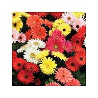 Семена цветов герберы Mix 100 с