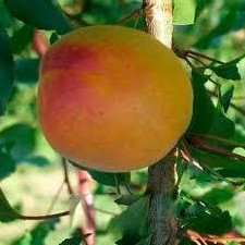 Персик Молдавський жовтий (р)