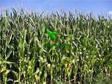 Насіння Кукурудзи КОДИВАЛ (Кодисем) ФАО 290, 2020 р. в. (Маїс Черкаси), фото 5
