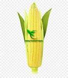 Насіння Кукурудзи КОДИВАЛ (Кодисем) ФАО 290, 2020 р. в. (Маїс Черкаси), фото 8