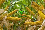 Насіння Кукурудзи КОДИВАЛ (Кодисем) ФАО 290, 2020 р. в. (Маїс Черкаси), фото 10