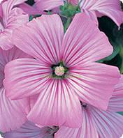 Семена цветов лаватеры Тисато Splendid 100 с