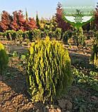 Thuja orientalis 'Morganii', Туя східна 'Моргані',WRB - ком/сітка,45-50см, фото 9