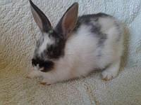 Кролик мини.БЕЛЫЙ.