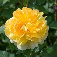 Саженцы розы английской Мулине (Rose Molineux)
