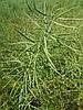 Гибрид ярового рапса Мажор РС устойчивый к 4 л/га раундапа. Высокоурожайные семена рапса 33-37ц/га. Масса 1 тыс. шт. / 4грамма.