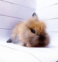 """Карликовый торчеухий кролик,порода """"Львиная голова"""",окрас """"Тюрингенский"""",возраст 1,5мес.,девочка, фото 3"""