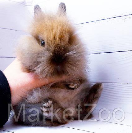 """Карликовый торчеухий кролик,порода """"Львиная голова"""",окрас """"Тюрингенский"""",возраст 1,5мес.,девочка, фото 2"""