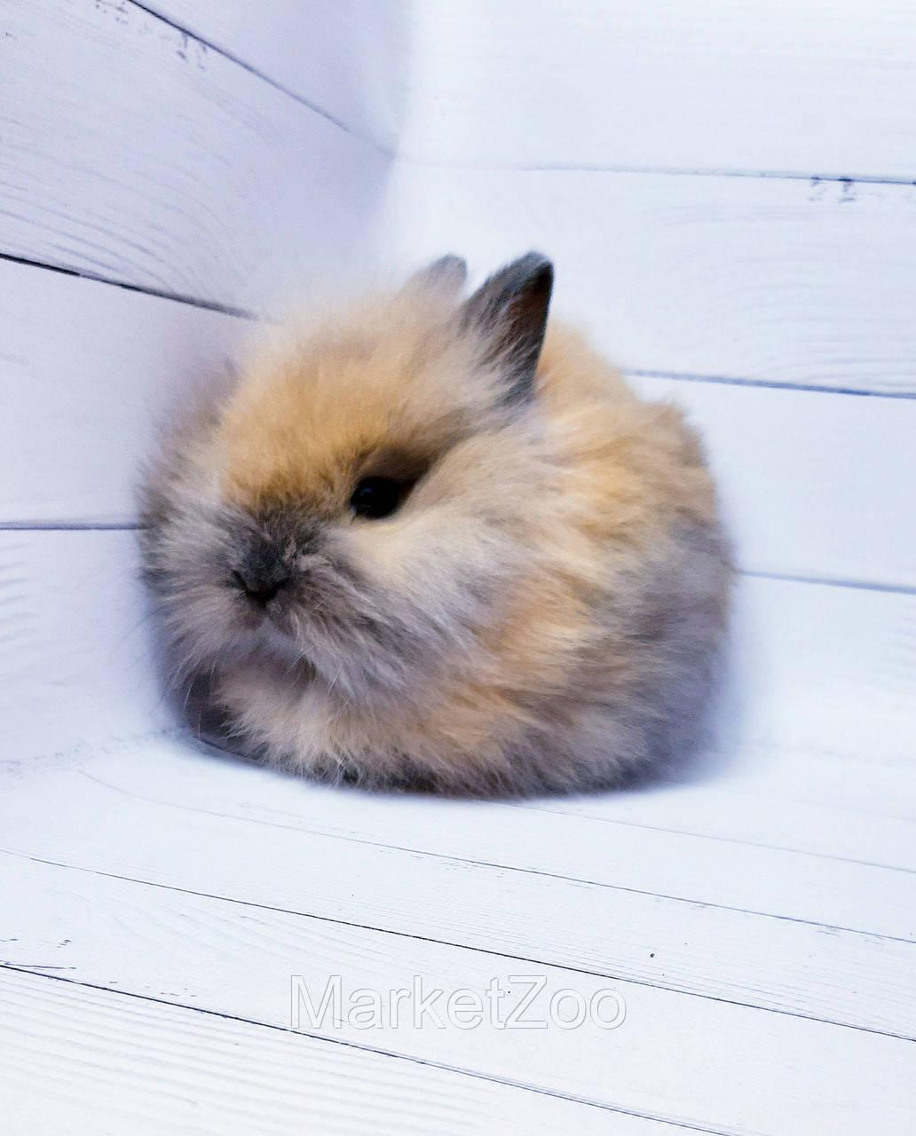 """Карликовый торчеухий кролик,порода """"Львиная голова"""",окрас """"Тюрингенский"""",возраст 1,5мес.,девочка"""